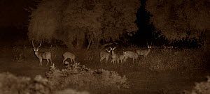 Chital / Spotted deer herd (Axis axis), Yala National Park, Sri Lanka. Image taken at night using infa red camera technology without artificial light. - Martin Dohrn