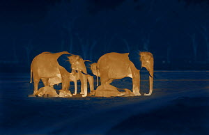 Sleeping African elephants (Loxodonta africana), two adults and offspring, Masai Mara, Kenya. Image taken at night using thermal camera technology without artificial light. - Martin Dohrn