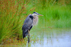 Great Blue Heron (Ardea herodias) lightly oiled as a result of the BP Deepwater Horizon oil spill in the Gulf of Mexico. Standing in a coastal marsh. Gulf Islands National Seashore, Florida. USA, June...  -  Gerrit Vyn