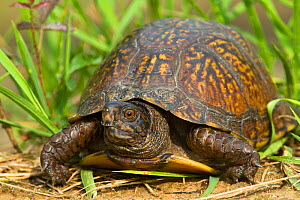 Gulf Coast Box Turtle (Terrapene carolina major) portrait, Mobile County, Alabama. USA, July.  -  Gerrit Vyn
