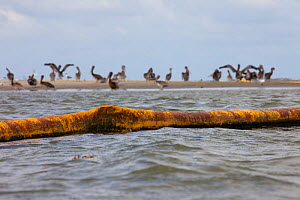 Flock of oiled Brown Pelicans (Pelecanus occidentalis) on a beach behind an oil covered containment boom. This nesting colony is the largest in Louisiana and was heavily contaminated by the BP Deepwat...  -  Gerrit Vyn