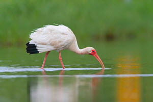 White Ibis (Eudocimus albus) lightly oiled adult foraging. Contaminated as a result of the BP Deepwater Horizon oil leak, in the Gulf of Mexico, Plaquemines Parish, Louisiana, USA, July 2010.  -  Gerrit Vyn
