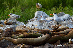 Flock of Royal Tern (Thalasseus maximus) oil covered fledglings wait to be fed in a nesting colony on Queen Bess Island. These birds have little chance of survival as their feathers are too damaged, a... - Gerrit Vyn
