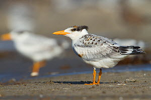A lightly oiled Royal Tern (Thalasseus maximus) fledgling on the beach waiting to be fed. The bird was oiled as a result of the BP Deepwater Horizon oil leak in the Gulf of Mexico. Raccoon Island, Ter... - Gerrit Vyn