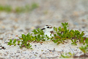 Adult Snowy Plover (Charadrius nivosus) incubating on nest. Bon Secour National Wildlife Refuge. Baldwin County, Alabama, USA. June 2010. NB. This section of coastline was affected by the BP Deepwater...  -  Gerrit Vyn