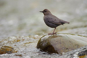American Dipper (Cinclus mexicanus) standing on exposed stone, in fast flowing stream. King County, Washington, USA, April.  -  Gerrit Vyn