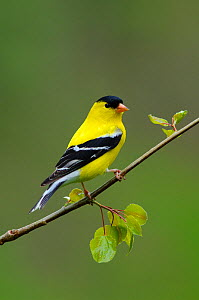 American Goldfinch (Carduelis tristis) male in breeding plumage, perched on branch, Tompkins County, New York, USA. May.  -  Gerrit Vyn