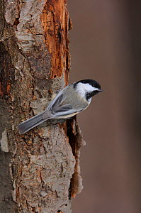 Black-capped Chickadee (Poecile atricapillus) clinging to a tree trunk. Tompkins County, New York, USA, February.  -  Gerrit Vyn