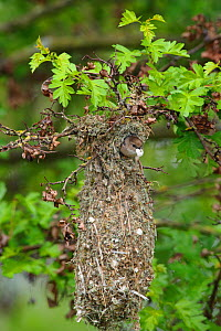 Bushtit (Psaltriparus minimus) male leaving its nest with an egg shell fragment. King County, Washington, USA, May.  -  Gerrit Vyn