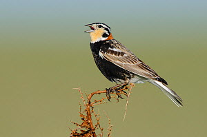 Chestnut-collared Longspur (Calcarius ornatus) male singing. Alberta, Canada. June.  -  Gerrit Vyn