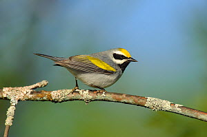 Golden-winged Warbler (Vermivora chrysoptera) male, perched on branch, St. Lawrence County, New York, USA, May.  -  Gerrit Vyn