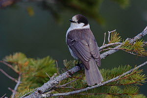 Gray Jay (Perisoreus canadensis) perched on Pine branch. This is the Pacific subspecies P. c. obscurus, and the shafts of dorsal feathers are distinctly white. Pierce County, Washington, USA May - Gerrit Vyn