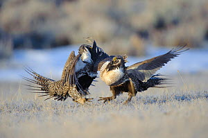 Two Greater Sage-Grouse (Centrocercus urophasianus) males fighting on a lek. Freemont County, Wyoming, USA, March.  -  Gerrit Vyn
