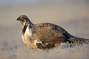 Greater Sage-Grouse (Centrocercus urophasianus)portrait of male on a lek. Freemont County, Wyoming, USA, March.  -  Gerrit Vyn