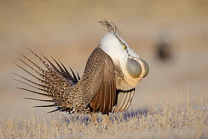 Greater Sage-Grouse (Centrocercus urophasianus) male displaying on a lek. Freemont County, Wyoming, USA, March.  -  Gerrit Vyn