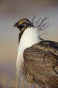 Greater Sage-Grouse (Centrocercus urophasianus) head portrait of male displaying on a lek. Freemont County, Wyoming, USA, March.  -  Gerrit Vyn