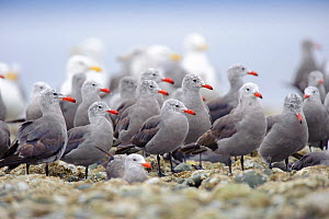 Flock of Heermann's Gulls (Larus heermanni) standing on intertidal rocks. Jefferson County, Washington, USA, August.  -  Gerrit Vyn