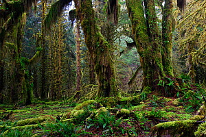 Bigleaf maple trees  (Acer macropyllum) covered in moss, in the Hoh Rainforest. Olympic National Park, Washington, USA, March 2010. - Gerrit Vyn
