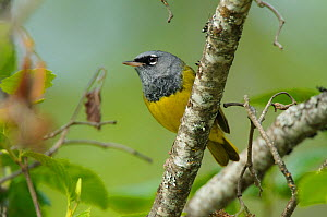 MacGillivray's Warbler (Geothlypis tolmiei) perched on a branch, Pend Oreille County, Washington, USA, May.  -  Gerrit Vyn