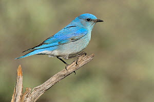 Mountain Bluebird (Sialia currucoides) male perched in branch,  Douglas County, Washington, USA, April.  -  Gerrit Vyn