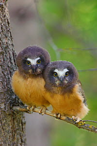 Two Northern Saw-whet Owls (Aegolius acadicus) fledgling chicks, that have recently left the safety of their nest cavity. Alberta, Canada. June.  -  Gerrit Vyn