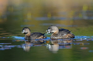 """Pair of Pied-billed Grebes (Podilymbus podiceps) in breeding plumage. Birds are performing the """"greeting duet"""" vocalization. Notice the much smaller size of the female. King County, Washington, USA, A...  -  Gerrit Vyn"""