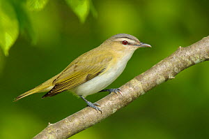 Red-eyed Vireo (Vireo olivaceus) portrait in profile, perched on branch. Tompkins County, New York, USA, May.  -  Gerrit Vyn