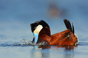 Ruddy Duck (Oxyura jamaicensis) male in breeding plumage performing a ^bubbling display^which is used in both courtship and aggressive territorial encounters. The male holds its head and tail and 2 ro...  -  Gerrit Vyn