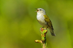 Tennessee Warbler (Vermivora peregrina) male perched in a pine tree branch, singing in spring, Alberta, Canada. May.  -  Gerrit Vyn