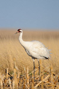 Whooping Crane (Grus americana) from a wild population foraging in a corn field during spring migration. Central South Dakota, USA, April. - Gerrit Vyn