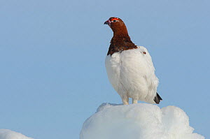 Willow Ptarmigan (Lagopus lagopus) male standing on snow covered ground, in spring. Males retain the white body plumage of winter plumage and molt the head and neck feathers to the russet brown summer...  -  Gerrit Vyn