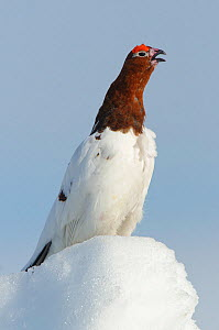Willow Ptarmigan (Lagopus lagopus) male standing on snow covered ground, vocalising in spring courtship. Males retain the white body plumage of winter plumage and molt the head and neck feathers to th... - Gerrit Vyn