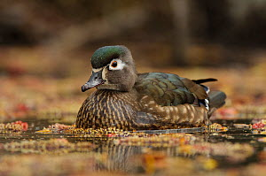 Wood Duck (Aix sponsa) portrait of female on water in spring. King County, Washington, USA, March. - Gerrit Vyn