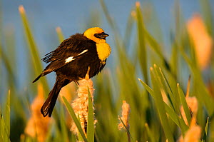 Yellow-headed Blackbird (Xanthocephalus xanthocephalus) male in breeding plumage, perched on cattails in wetlands, Alberta, Canada. June.  -  Gerrit Vyn