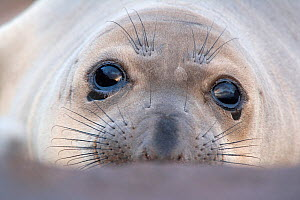 Northern elephant seal (Mirounga angustirostris) head portrait of weaner / pup, on beach at Guadalupe Island Biosphere Reserve, off the coast of Baja California, Mexico, April  -  Claudio Contreras