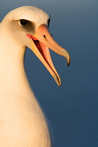 Laysan albatross (Phoebastria immutabilis) head portrait calling mate, Guadalupe Island Biosphere Reserve, off the coast of Baja California, Mexico, March - Claudio Contreras