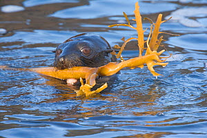 Guadalupe fur seal (Arctocephalus townsendi) pup playing with kelp stem in coastal waters, Guadalupe Island Biosphere Reserve, off the coast of Baja California, Mexico, March  -  Claudio Contreras