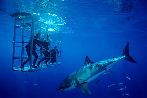 Great white shark (Carcharodon carcharias) passing divers cage, Guadalupe Island Biosphere Reserve, off the coast of Baja California, Mexico, Pacific ocean, September - Claudio Contreras