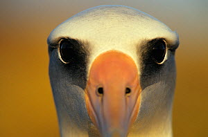 Laysan albatross (Phoebastria immutabilis) close-up of eyes, Guadalupe Island Biosphere Reserve, off the coast of Baja California, Mexico, January  -  Claudio Contreras