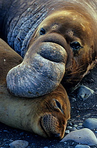 Pair of Northern elephant seals (Mirounga angustirostris) male holding female during copulation, Guadalupe Island Biosphere Reserve, off the coast of Baja California, Mexico, January  -  Claudio Contreras