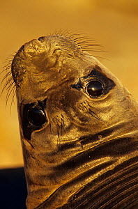 Northern elephant seal (Mirounga angustirostris) weaner / juvenile head portrait, with head turned to look at camera, Guadalupe Island Biosphere Reserve, off the coast of Baja California, Mexico, Febr... - Claudio Contreras