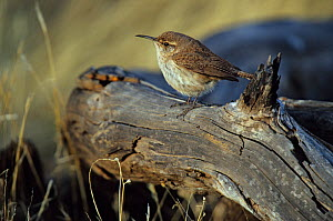Guadalupe rock wren (Salpinctes obsoletus guadalupensis) perched on log, Guadalupe Island Biosphere Reserve, off the coast of Baja California, Mexico, February  -  Claudio Contreras