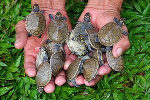 Side-necked Terrapin (Podocnemis unifilis) hatchlings in the hand, and ready to be released. Pacaya Samiria National Reserve. Amazon Basin. Loreto. Peru  -  Juan Manuel Borrero