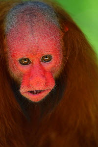 White bald-headed uakari (Cacajao calvus) head portrait. Amazon basin. Iquitos. Loreto. Peru, Captive  -  Juan Manuel Borrero