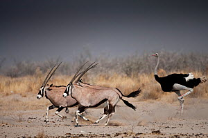 Oryx (Oryx gazella) and Ostriches (Struthio camelus) running, Etosha National Park, Namibia, August 2009  -  Christophe Courteau