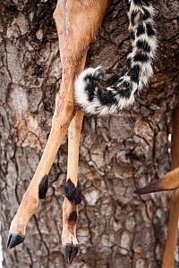 Tail of a Leopard (Panthera pardus) beside its kill, the legs of an Impala, dragged up into a tree, South Africa, July - Christophe Courteau