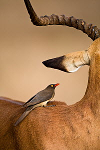 Redbilled oxpecker (Buphagus erythrorhynchus) on back of an Impala, South Africa, June  -  Christophe Courteau