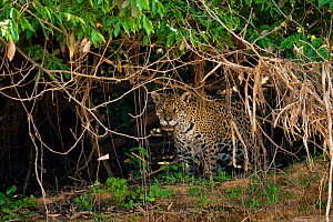 Jaguar (Panthera onca palustris) wild pregnant female, in undergrowth beside the Cuiaba River,  Pantanal, Mato Grosso, Brazil, September 2008 This individual is called BORBOLETTA by researchers (phot... - Christophe Courteau