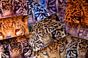 Photo-identification of Jaguars (Panthera onca) for scientific Research, Pantanal, Brazil, September 2008 - Christophe Courteau