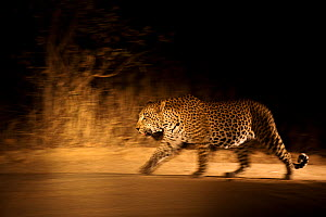 Large adult male Leopard (Panthera pardus) walking through the bush at night, Sabi Sand Private Game Reserve, South Africa, June  -  Christophe Courteau